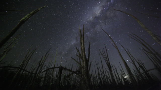 vidéos et rushes de t/l, ws, la, stars of milky way rotating over spiny forest (alluaudia procera), madagascar - plante sauvage