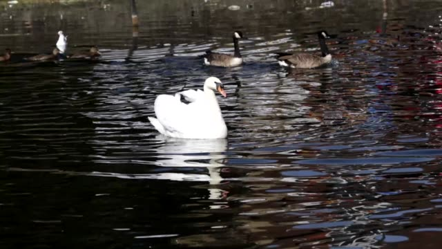 start of wild goose chase mute swan canada geese hd video - mute swan stock videos & royalty-free footage