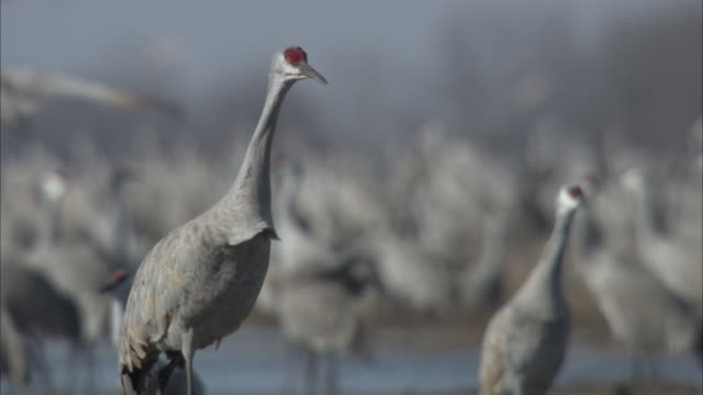 a stately sandhill crane slowly stalks among its flock. - sandhill crane stock videos & royalty-free footage