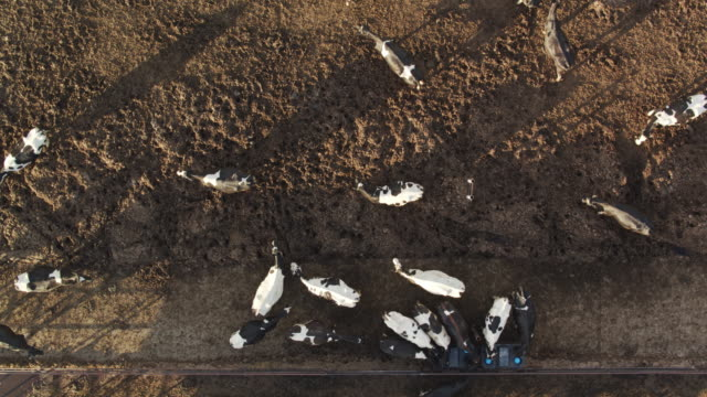 Static Dop Down Drone Shot of Cows on Dairy Farm