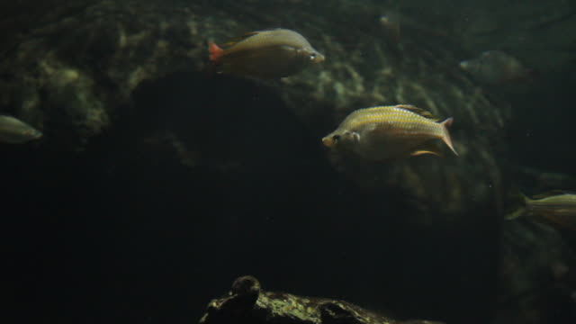 stockvideo's en b-roll-footage met cu static fish swimming in under water / northern territory, australia - wiese