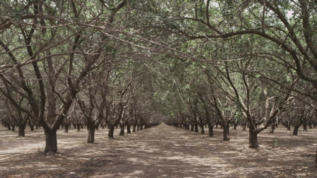 Static frame. Long corridor in vast almond grove, California central valley