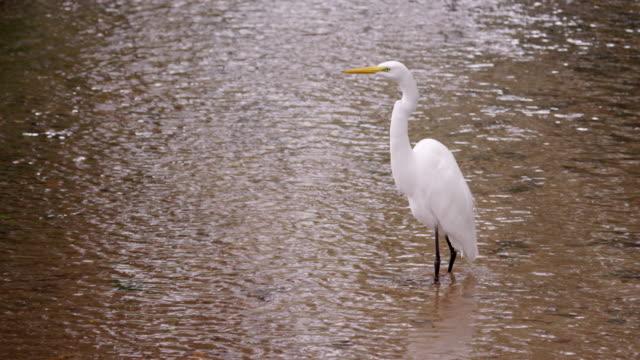 static full body shot of white bird wading in water. - water bird stock videos & royalty-free footage