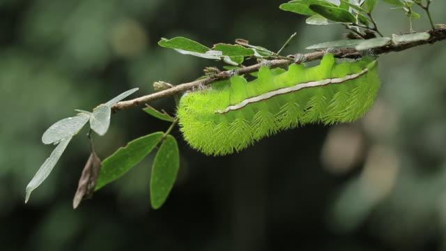 vídeos de stock, filmes e b-roll de static macro closeup of a green io moth caterpillar (automeris io) on a tree branch - tambopata