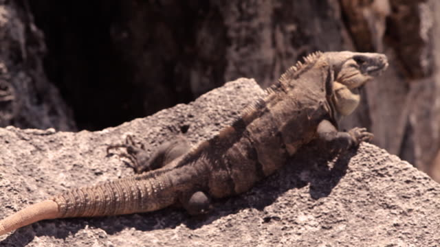 static, medium closeup shot of an iguana on a rock from behind. - cancun stock videos & royalty-free footage