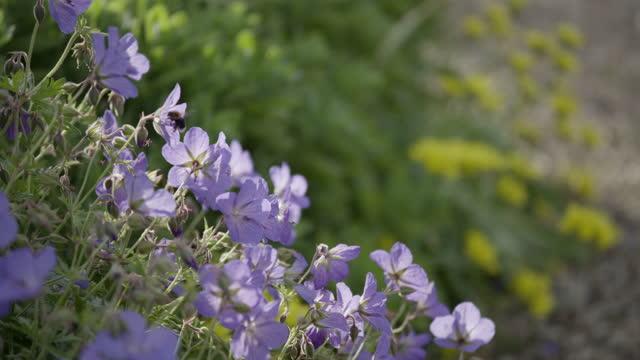 static shot of a carpenter bee pollinating geranium flowers - petal stock videos & royalty-free footage