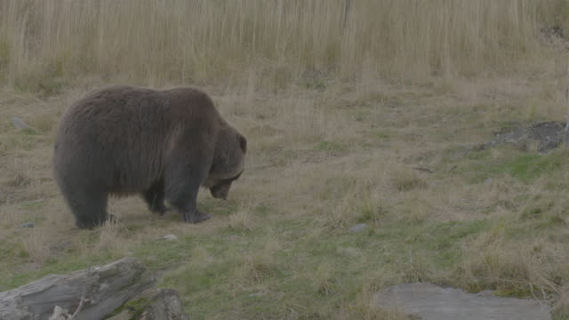 static shot of a grizzly bear eating grass in the arctic national wildlife refuge - arctic national wildlife refuge stock videos & royalty-free footage