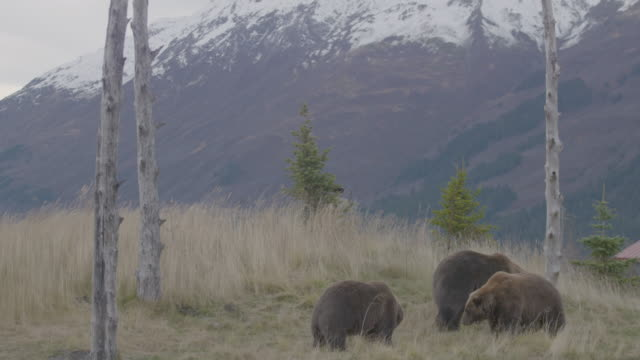 stockvideo's en b-roll-footage met static shot of a group of grizzly bears standing on a glade in the arctic national wildlife refuge - arctic national wildlife refuge