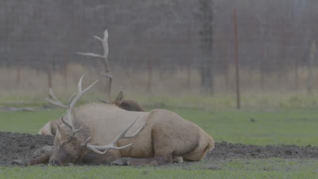 stockvideo's en b-roll-footage met static shot of a male red deer sleeping in the arctic national wildlife refuge - arctic national wildlife refuge