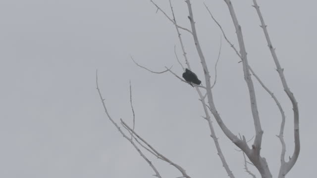 stockvideo's en b-roll-footage met static shot of a raven perching on a branch in the arctic national wildlife refuge - arctic national wildlife refuge