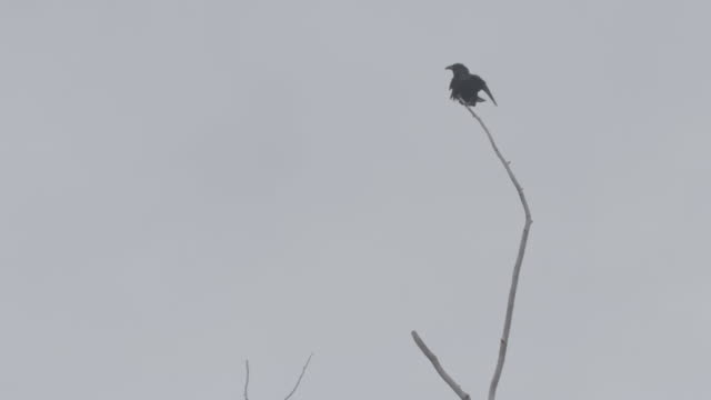 stockvideo's en b-roll-footage met static shot of a raven taking off from a branch in the arctic national wildlife refuge - arctic national wildlife refuge