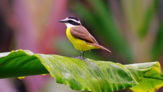 vídeos de stock, filmes e b-roll de static shot of beautiful yellow bellied bird moving on leaf petal. - animal selvagem