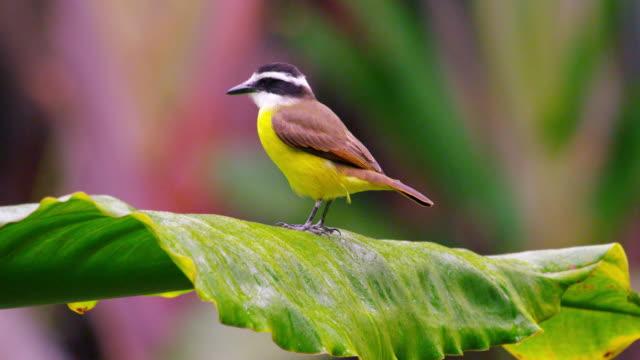 vídeos y material grabado en eventos de stock de static shot of beautiful yellow bellied bird moving on leaf petal. - 2013