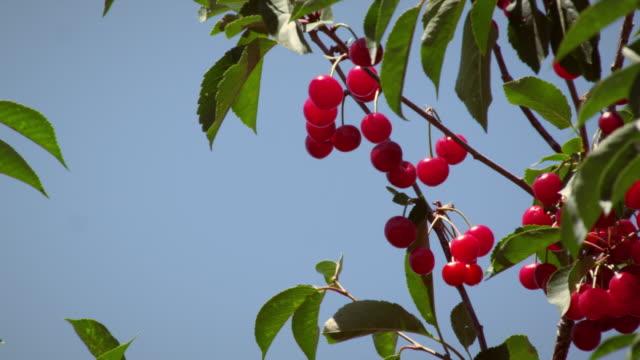 static shot of cherry branch with sky. - プロボ点の映像素材/bロール