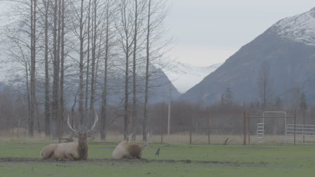 stockvideo's en b-roll-footage met static shot of male red deers lying on the ground in the the arctic national wildlife refuge - arctic national wildlife refuge