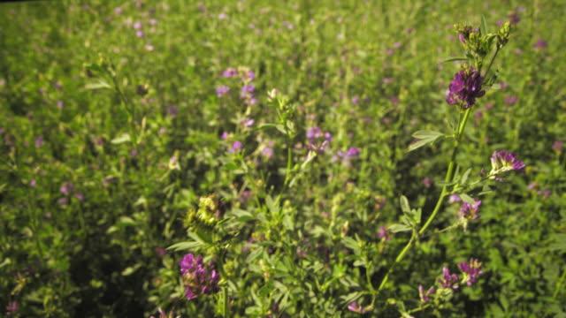 static shot of purple flower bushes blowing in breeze. - プロボ点の映像素材/bロール
