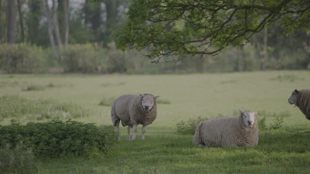 static shot of sheep standing in a field - pasture stock videos & royalty-free footage
