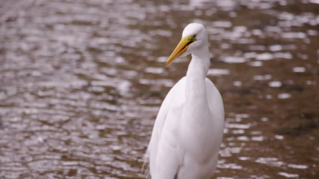 static shot of white bird drinking water and cleaning itself. - 2013 stock-videos und b-roll-filmmaterial