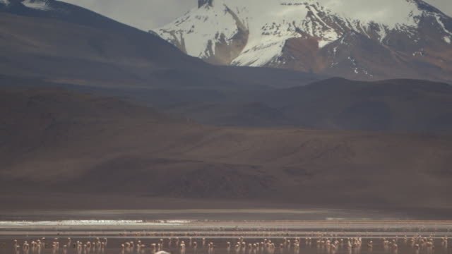 static wide shot of a flamboyance of james's flamingos (phoenicoparrus jamesi) standing on the bolivian altiplano at the base of the continuing andes. - bolivian andes stock videos & royalty-free footage