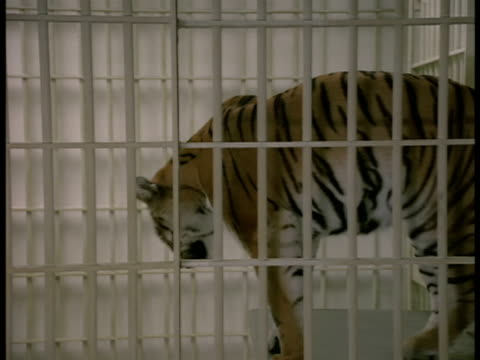 Steadicam-shot of a tiger in a cage at a laboratory in the Los Angeles Zoo.