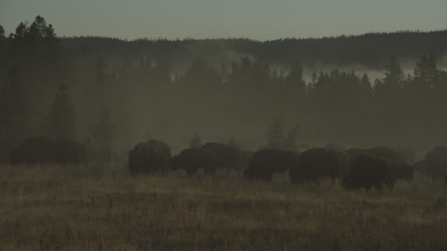 Steam billows around buffalo grazing on a plain.