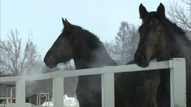 Steam billows from several horse's nostrils as they breathe heavily after exercising.
