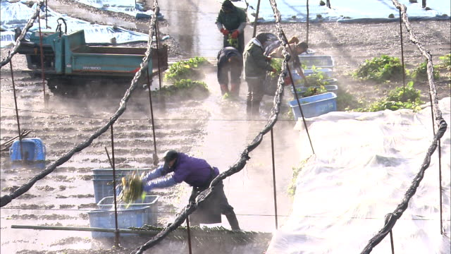 steam billows past wasabi harvesters. - wasabi stock videos and b-roll footage