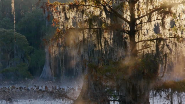 steam fog rising in cypress tree swamp, backlit morning light, caddo lake, on the texas/louisiana border - spanish moss stock videos & royalty-free footage