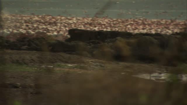steam rises along the lakeshore of lake bogoria near a flock of swimming flamingos in kenya. - lakeshore stock videos & royalty-free footage