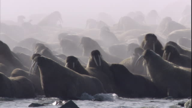 Steam rises from a colony of walruses as it amble into the water. Available in HD.