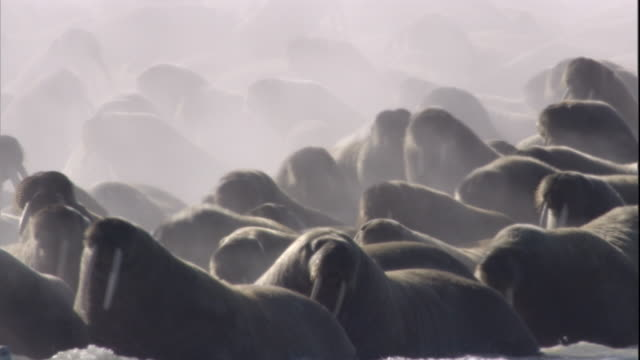 Steam rises from a colony of walruses that splash across a beach. Available in HD.