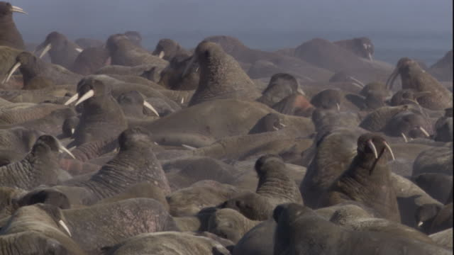 Steam rises from large colony of walruses. Available in HD.