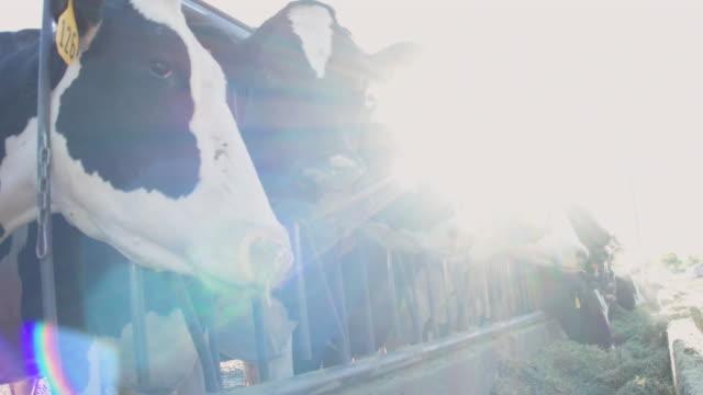 stockvideo's en b-roll-footage met stomende adem van melkkoeien - zichtbare adem