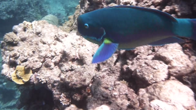 steephead parrotfish swims in shallow water over reef - parrotfish stock videos & royalty-free footage