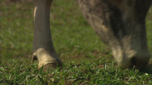 vídeos de stock e filmes b-roll de a steer grazes in a pasture. - land