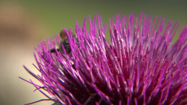 steiermark - bee on a flower in burgeralm close up 02 - 40 o più secondi video stock e b–roll
