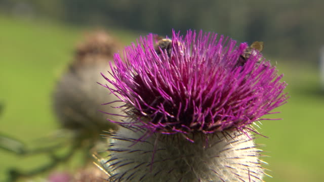 steiermark - two bees on a flower in rural burgeralm close up - 40 o più secondi video stock e b–roll