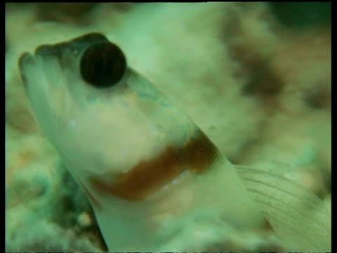 steinitz's shrimp goby fish, cu head in hole with two shrimps, mabul, borneo, malaysia - 動物の色点の映像素材/bロール