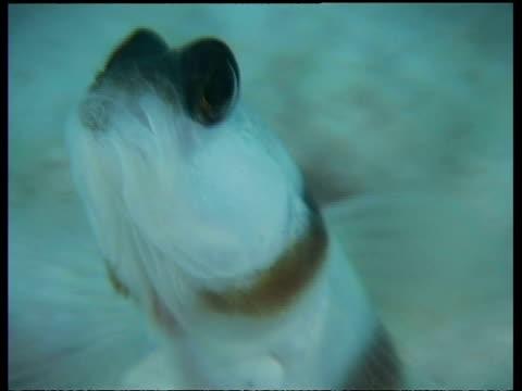 vídeos y material grabado en eventos de stock de steinitz's shrimp goby fish, cu head, shrimp digging burrow in background, mabul, borneo, malaysia - patrones de colores