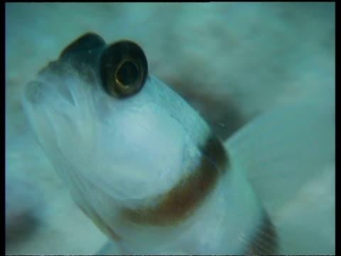 steinitz's shrimp goby fish, cu head, zoom out to goby resting on seabed, mabul, borneo, malaysia - 動物の色点の映像素材/bロール