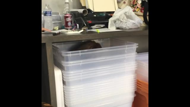 stockvideo's en b-roll-footage met stella the border collie/australian shepherd totally flattens herself out in order to climb into a stack of storage bins under the table what a weirdo - australische herder