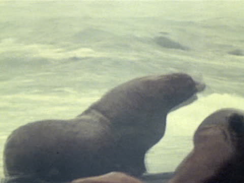 stellar sea lion bull chasing female on beach female turning to bite bull's neck premating ritual aleutian islands bering sea - aleutian islands stock videos and b-roll footage