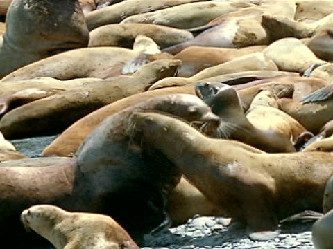vidéos et rushes de stellar sea lion bull sitting on beach rocking head back ws sea lion bull moving cow out of harem pushing w/ nose - accouplement lion