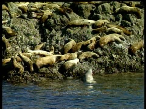 vidéos et rushes de ms steller sea lion, eumetopias jubatus, colony on rocks, arctic circle - colony