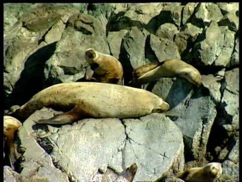 vidéos et rushes de cu steller sea lion, eumetopias jubatus, colony on rocks, edited sequence, arctic circle - colony