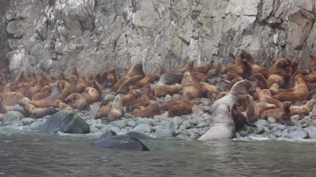 steller sea lions on iony island, sea of okhotsk - sea lion stock videos & royalty-free footage