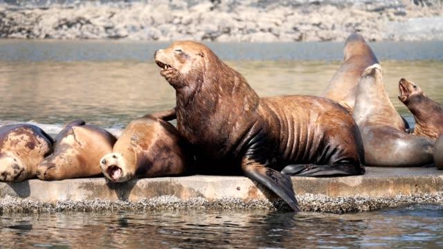 steller sea lions - sea lion stock videos & royalty-free footage