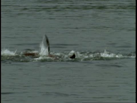 vídeos de stock, filmes e b-roll de steller sealions play off the coast of vancouver island. - mamífero aquático