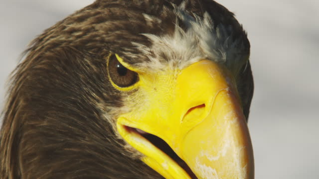 CU Stellers Sea Eagle as it turns its head with white background