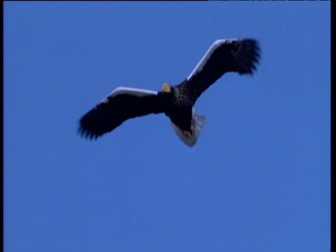 steller's sea eagle flies against blue sky, talan island - chroma key stock videos & royalty-free footage